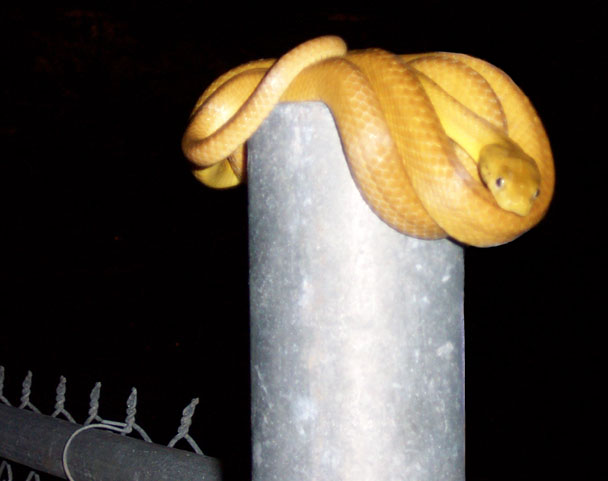 Snake_browntree